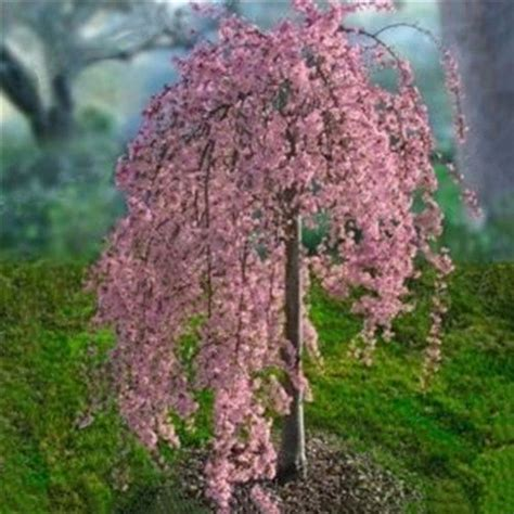 20pink weeping cherry tree seeds garden tree suitable for yard ebay
