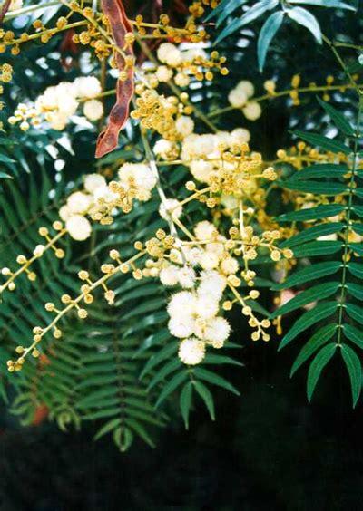 acacia elata australian native plants plants