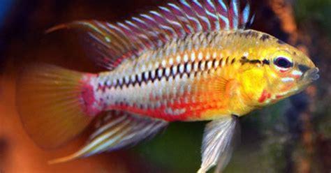 Ikan Apistogramma Indukan apistogramma hongsloi form ii freshwater fish south