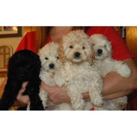 cockapoo puppies for sale in florida camic cockapoos cockapoo breeder in haines city florida