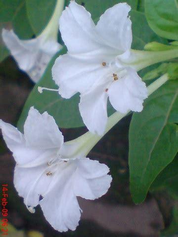 Bungabiji Mirabilis Jalapa Bunga Pukul 4 Bunga Terompet erfin quot s biologi hubungan bunga pukul empat dan