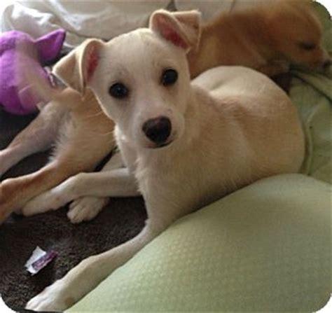 lab chihuahua mix puppies sprite adopted los angeles ca labrador retriever chihuahua mix