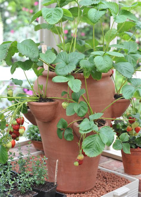 Strawberry Planter Terracotta by Buy Terracotta Strawberry Planter