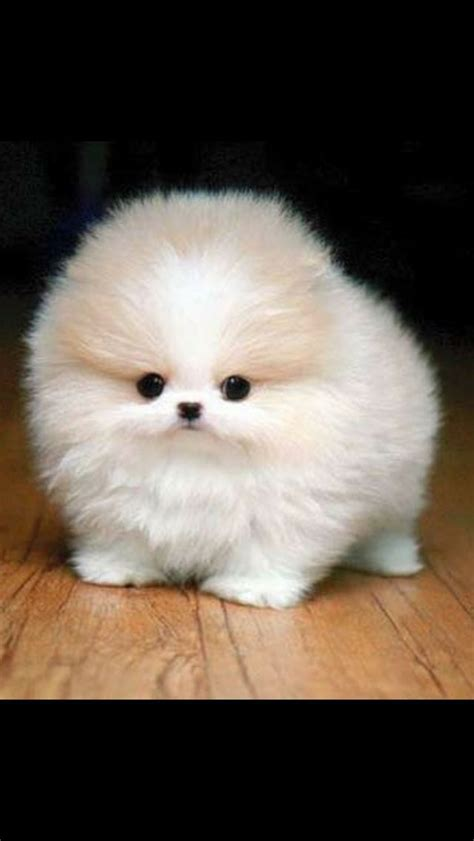 pomeranian husky grown weight 17 best images about pomerania on pomeranian puppy pomeranian husky