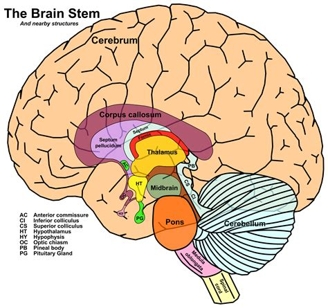 brain stem diagram midbrain powerful meditation lyra nara