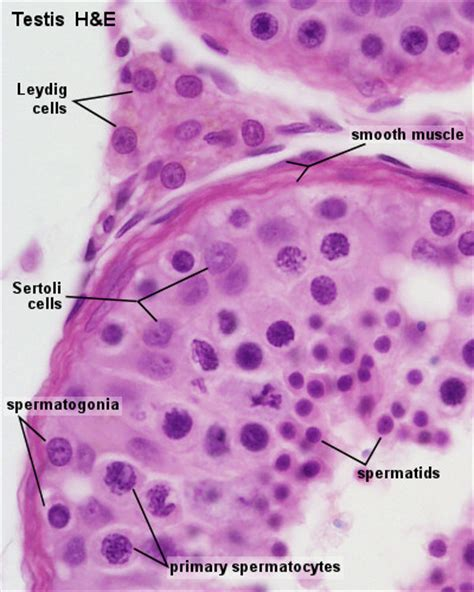 testis cross section blue histology male reproductive system
