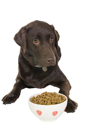 how much puppy food to feed lab puppies home made food the pros and cons