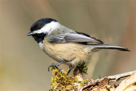 identification diet and management of chickadees and