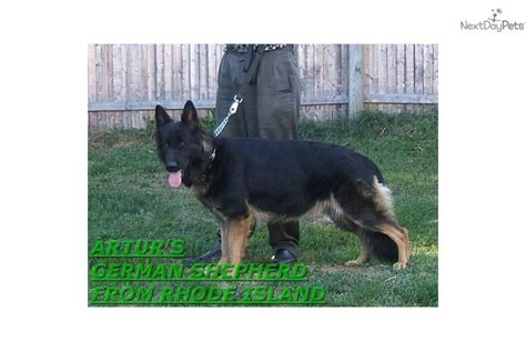 german shepherd puppies ri meet a german shepherd puppy for sale for 700 akc imported bloodlines