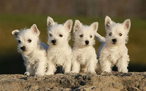 pup web sweethearts puppies wallpaper 22410139 fanpop