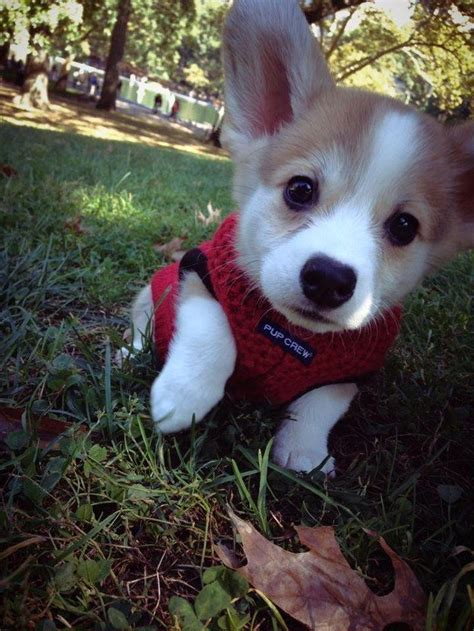 baby corgi puppies best 25 baby corgi ideas on corgi puppies corgi and adorable puppies