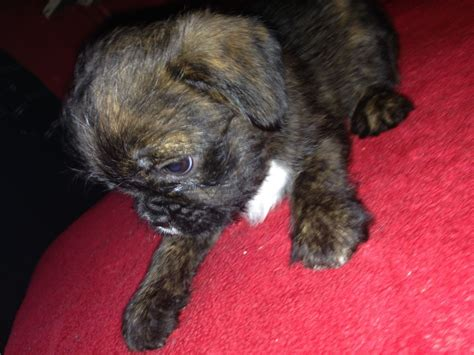 shih tzu x bulldog pin bulldog shih tzu mix puppies on