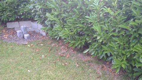 schrotschuss kirschlorbeer kirschlorbeer hecke verliert regelm 228 223 ig viele bl 228 tter