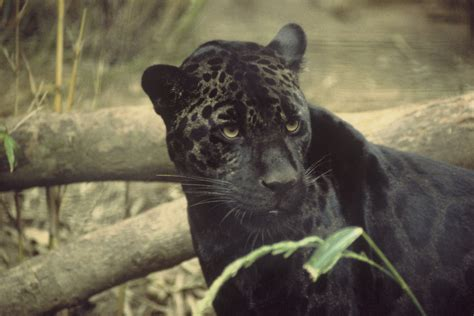 Is A Panther A Jaguar Black Panthers Images Black Panther Roaming Around Hd
