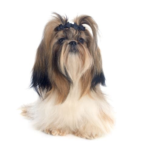 how to groom your shih tzu how to groom your shih tzu in a shih tzu grooming the ultimate
