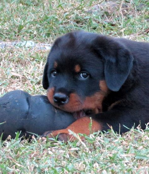 cheap rottweilers for sale cheap rottweiler puppies for sale desktop pictures and wallpapers hd free