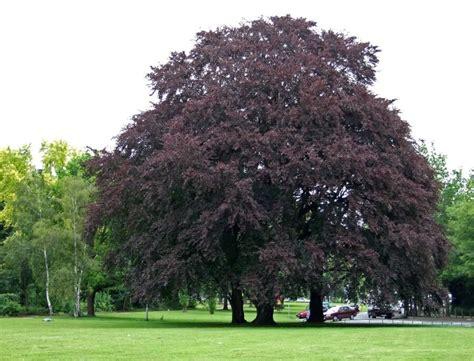 de tuinen gratis verzenden rode beuk fagus sylvatica atropunicea bloei na het leven