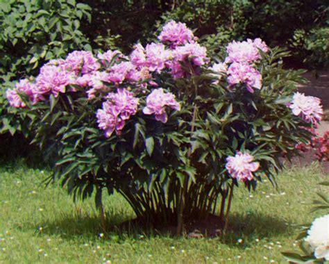 arbusti con fiori arbusti da giardino la potatura idee green