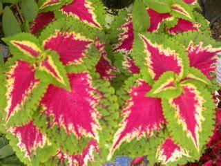 gizi  kuliner  budi bunga miana tanaman hias daun