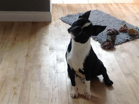 boston terrier puppies indiana pin boston terrier puppies akc registered in conklin michigan hoobly on