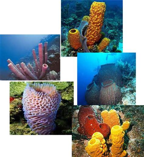 imagenes de animales poriferos invertebrados poriferos