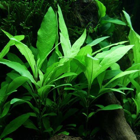 hygrophila corymbosa siamensis  tropica aquarium