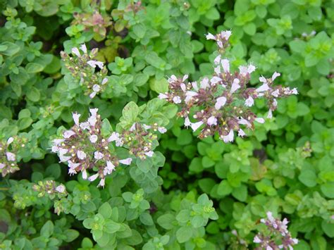 Plants In Kitchen by Top Health Benefits Of Oregano Hb Times