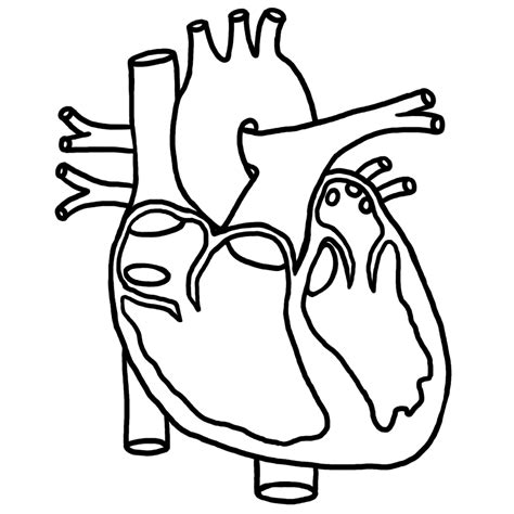 coloring page of heart anatomy 6 best images of anatomical heart outline printable