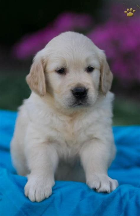 golden retriever puppies for sale in lancaster pa 1914 best golden retrievers images on animals