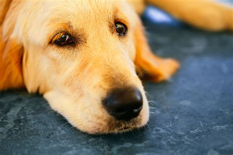 fecal incontinence in dogs lack of bowel in dogs symptoms causes diagnosis treatment recovery