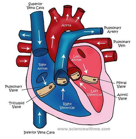 diagram of the circulatory system diagram of the circulatory system for
