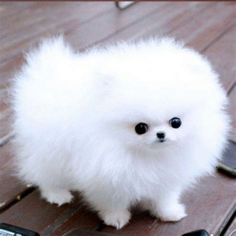 how big are teacup pomeranians 17 best ideas about teacup pomeranian puppy on teacup dogs pomeranian