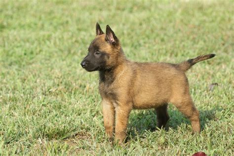 german malinois puppy chiot malinois uncompagnon fr