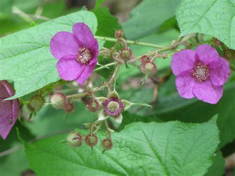 flowering raspberry shrub earth tones plants just another weblog