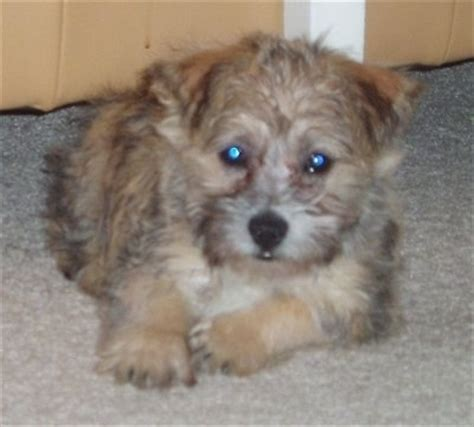 terrier havanese cairnese breed information and pictures
