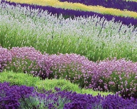 most fragrant 30 white purple lavender mix flower - Most Fragrant Lavender Plants