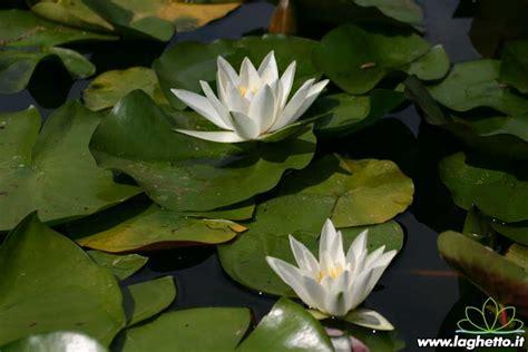 ninfea fiore di loto hermine piante acquatiche ninfee fiore di loto