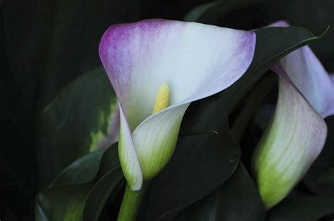 purple calla lily free stock photo public domain pictures
