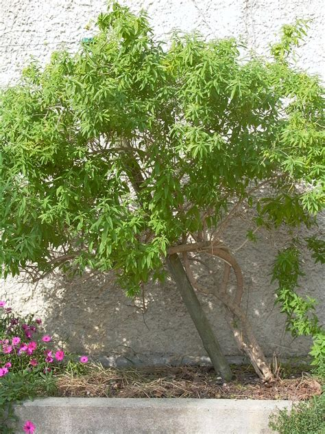 Quand Planter La Citronnelle by Cultiver La Citronnelle Amazing Cultiver La Citronnelle