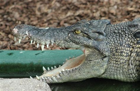 Pumpkin Carving by Saltwater Crocodile Crocodiles Of The World