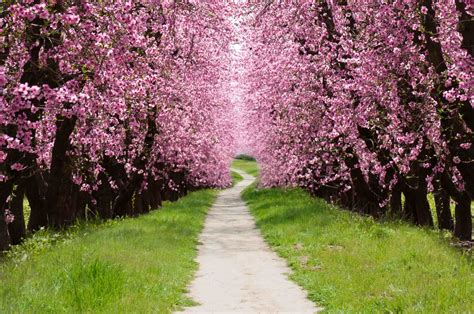 a cherry tree cherry blossom tree wallpaper 60 images