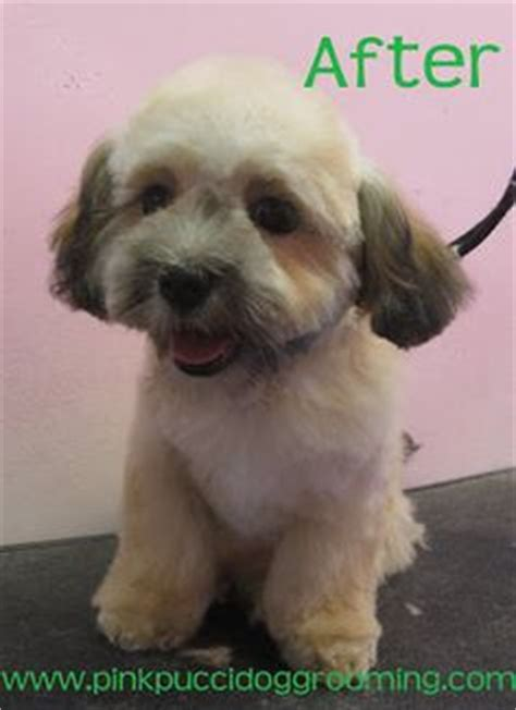 pictures images grooming styles female mal shi fe shih poo puppy grooming how to care for your poodle mix