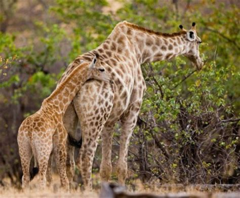 imágenes de jirafas bonitas galeria de fotografies girafa