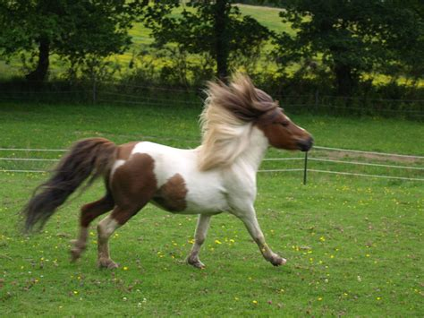 falabellas for sale maverick falabella horses quality falabella horses for sale