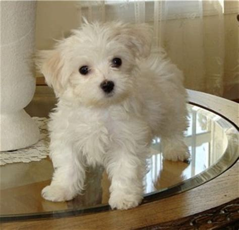 how many puppies can a maltese maltese puppies breeders
