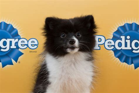 panda pomeranian the 29 cutest puppies from this year s puppy bowl bdcwire