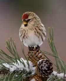 redpoll on pine tree animais pinterest