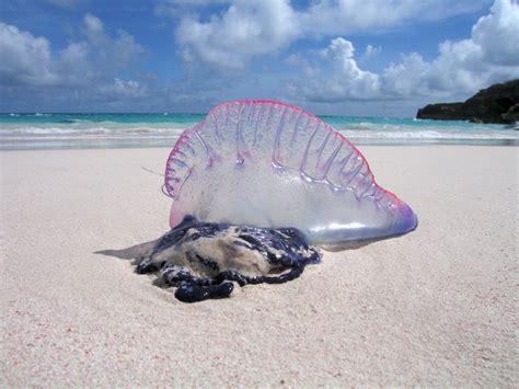 portugese water o war sea creature crafts