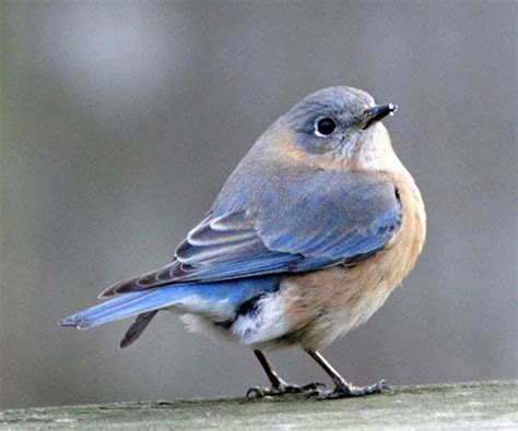 birds of eastern north america eastern bluebird female