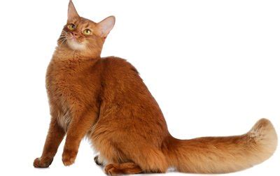 Breed That Sheds The Least by Top 17 Least Shedding Cat Breeds Cattime